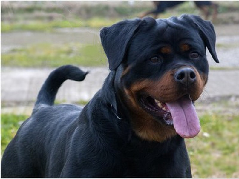 King Rottweilers : How Much does a Quality Rottweiler Puppy Cost