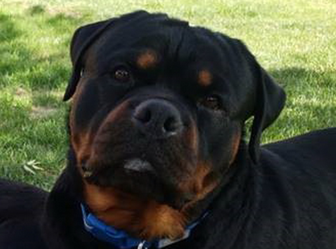 Male Rottweiler Puppies For Sale   Stud Dogs Service