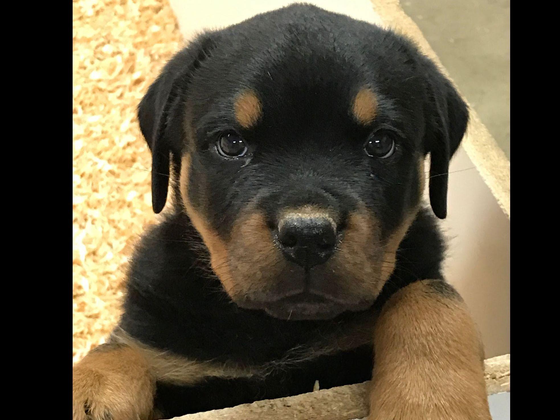 Taiger Vom Kinghaus Puppy