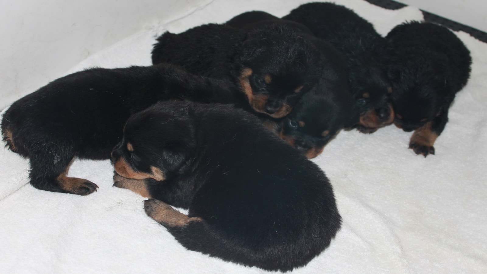 Newborn Rottweiler Puppies