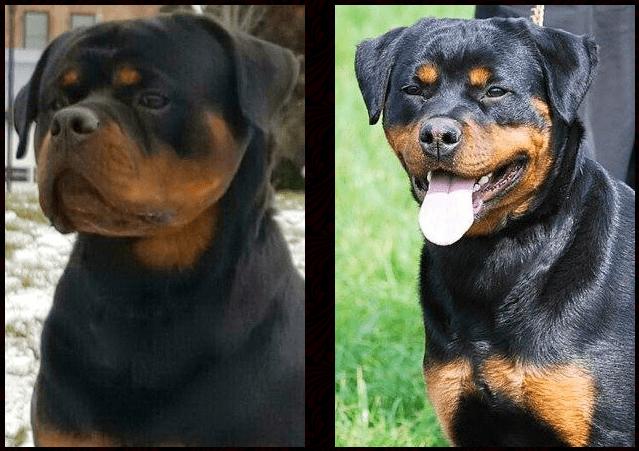 Boda Se Ungo-Rot Puppies
