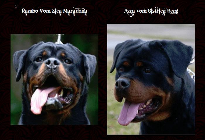 Rambo & Azra Rottweiler Puppies