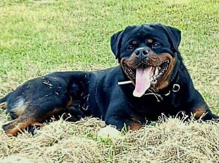 King Rottweilers How Much Does A Quality Rottweiler Puppy Cost
