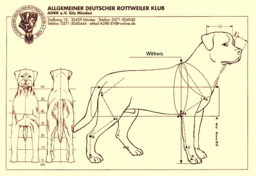 Rottweiler Proportions & Breed Standards
