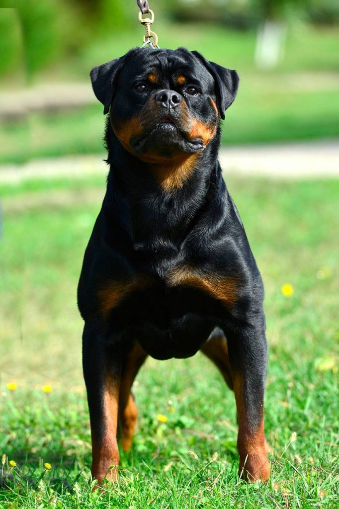 Giant Rottweiler Puppies