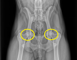 hip dysplasia in rottweilers