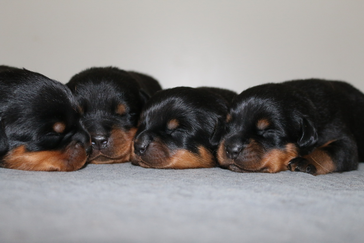 Cute Large Rottweiler Puppies for sale