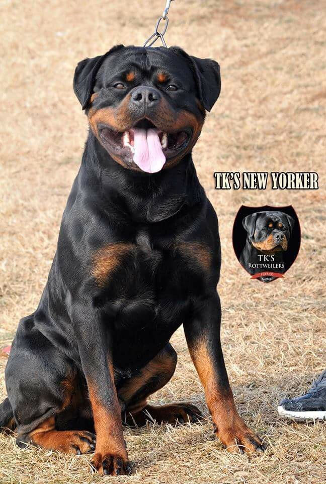 King Rottweilers uses ...