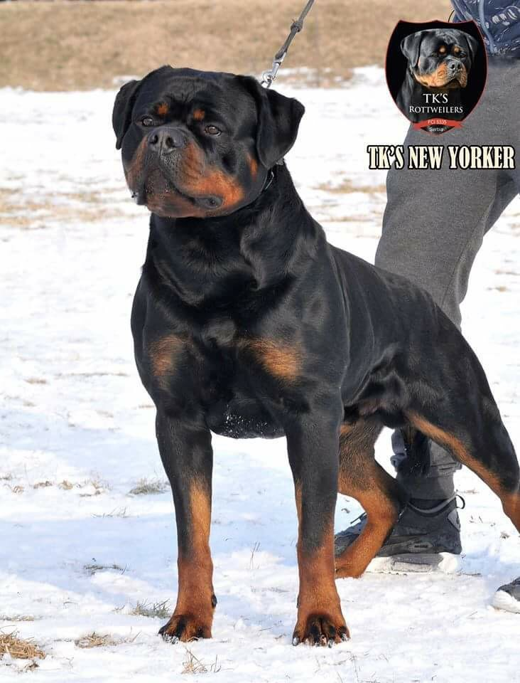 TK New Yorker Rottweiler Puppies for sale