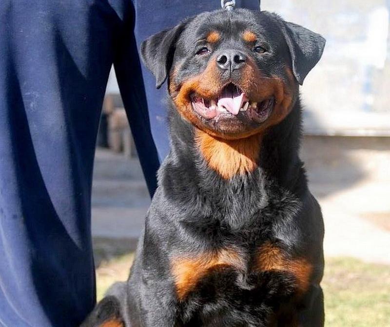 Dule Se Ungo-Rot : Puppies