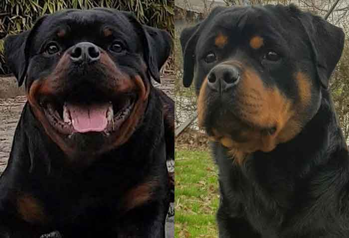 Anthony & Luna German Rottweiler Puppies for sale