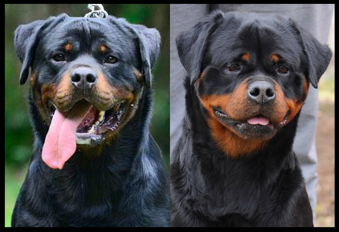 Rambo & Zinga (M) Rottweiler Puppies for sale : King Rottweilers