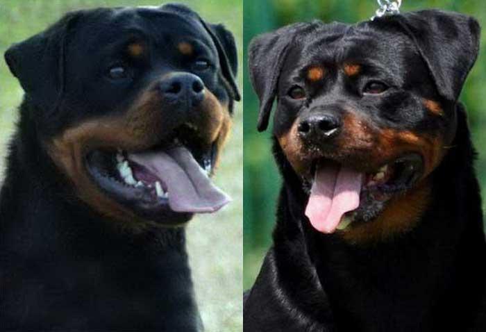 Iron_Dea_Rottweiler_Puppy_Litter